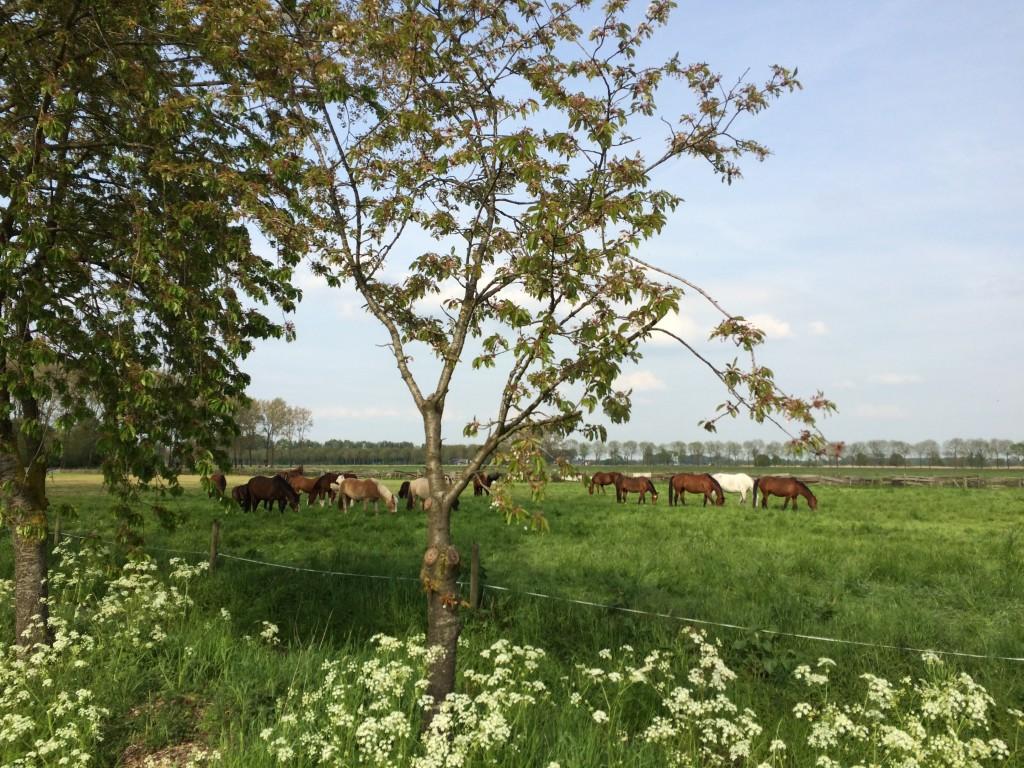 Paarden in de wei Lingebos