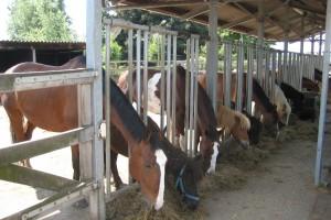 Paarden aan voerhek